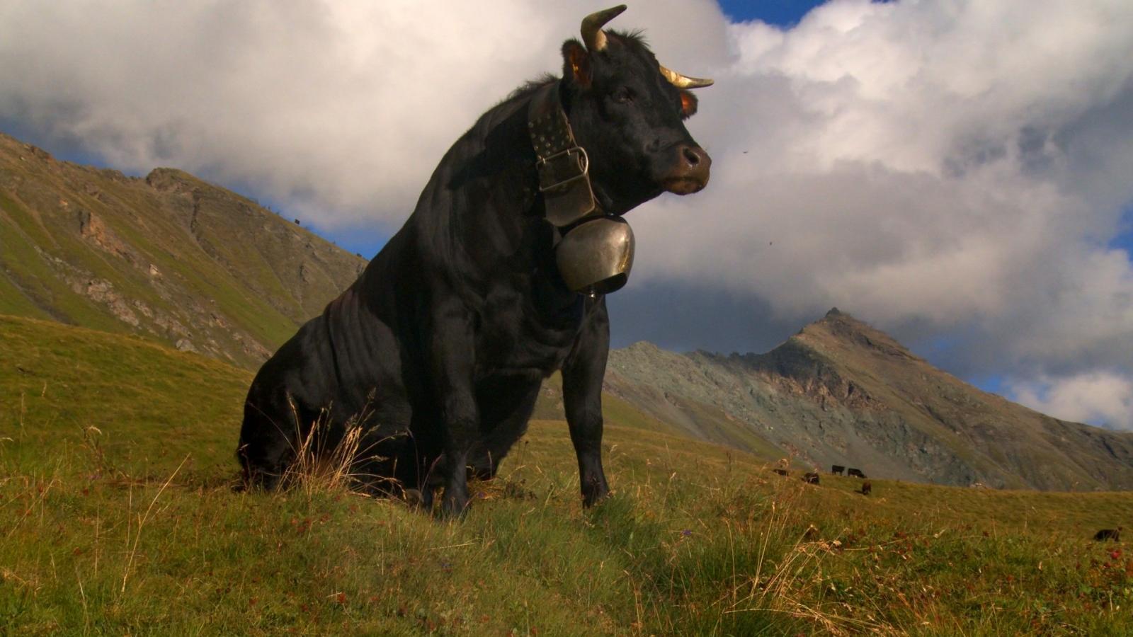 Vedette : Amour Vache
